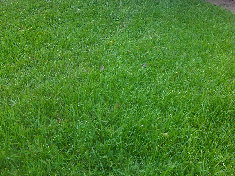 Amerikaans Gras Grasmatten